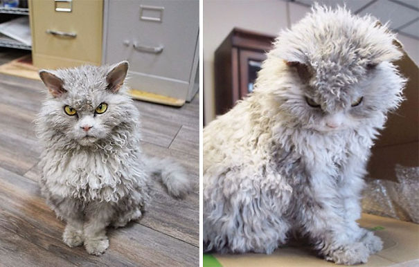 Of The Fluffiest Cats Ever Page Of ViraScoop - 25 of the fluffiest cats ever
