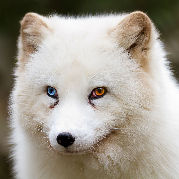 Arctix Fox