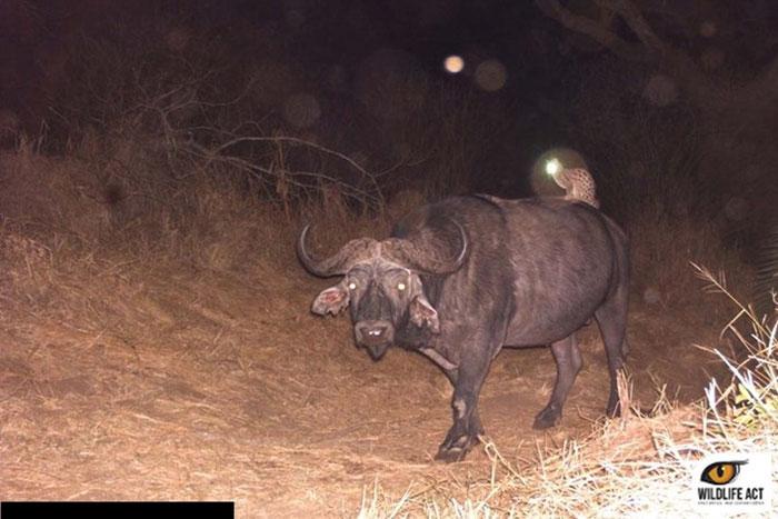 Wild Cat Riding A Buffalo
