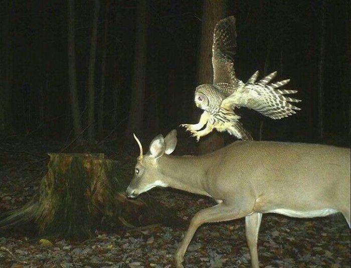 Deer Begins To Hate Owls In 3... 2...
