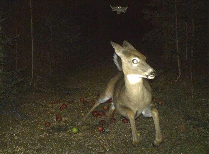 Deer Runs From Flying Squirrel