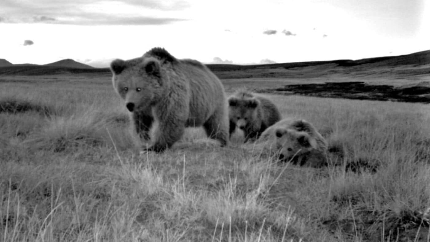 A family of Himalayan brown bears, including a female and two cubs, seen in a camera trap study of wild bears in northern Pakistan.