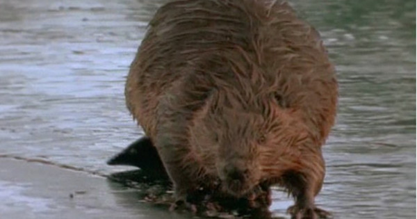 Bill O'Connor, 63, told local reporters he had been mauled and sexually assaulted by what he believes to be a massive 200-pound beaver.